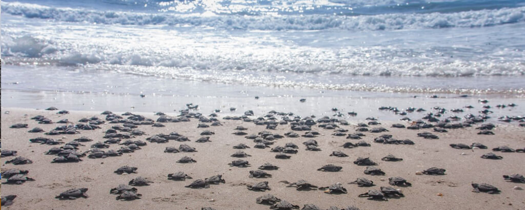 Club Solaris Cabos protecting the turtles