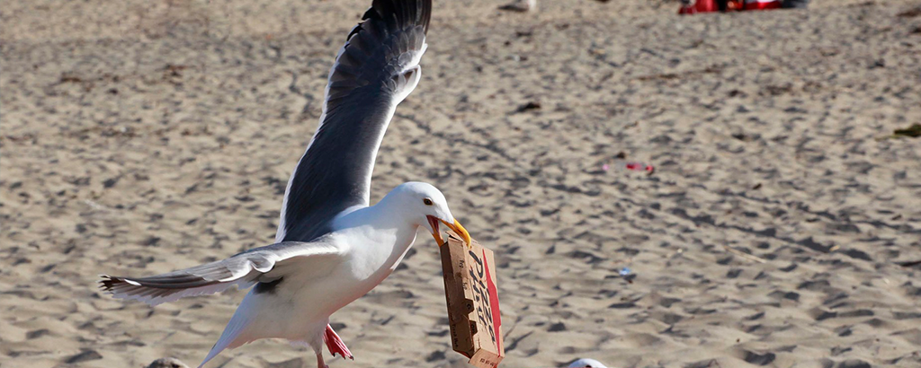 seagull taking a pizza box on the beach